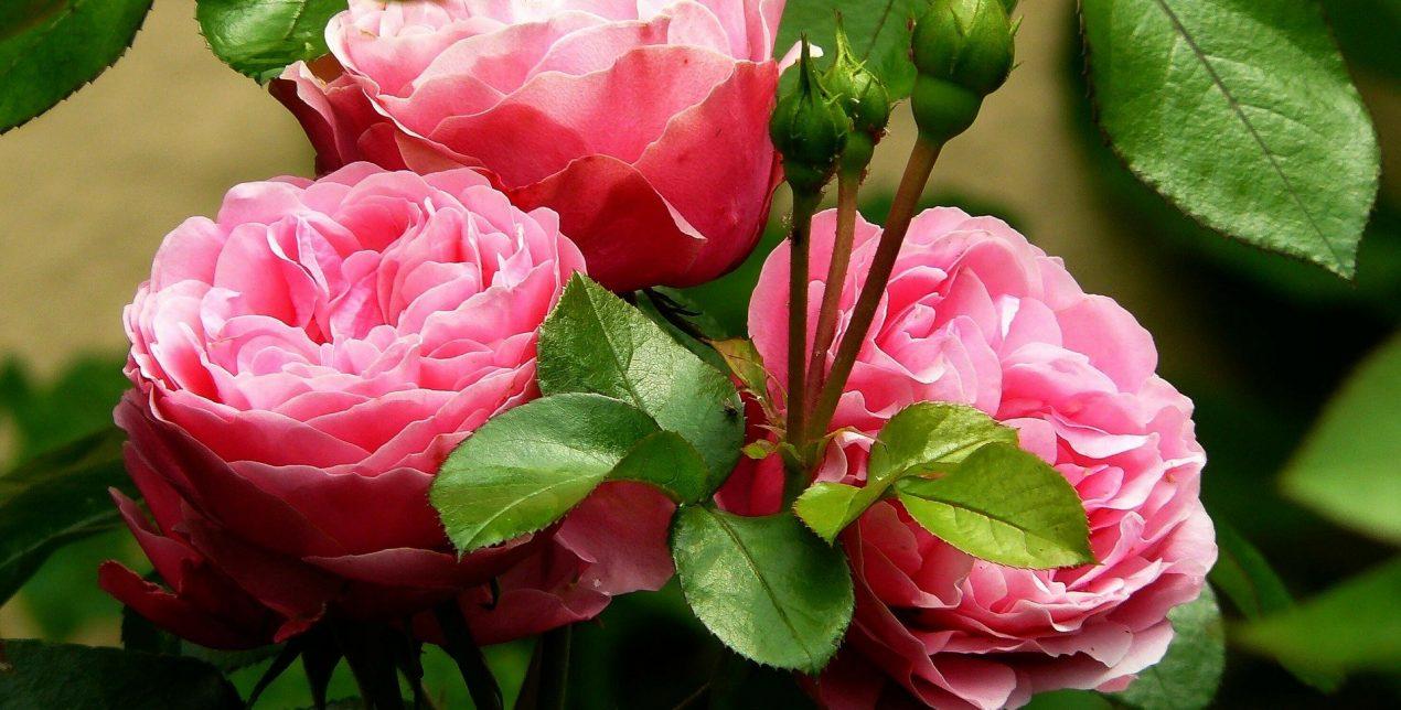 Photo de roses - Crématorium de Vannes